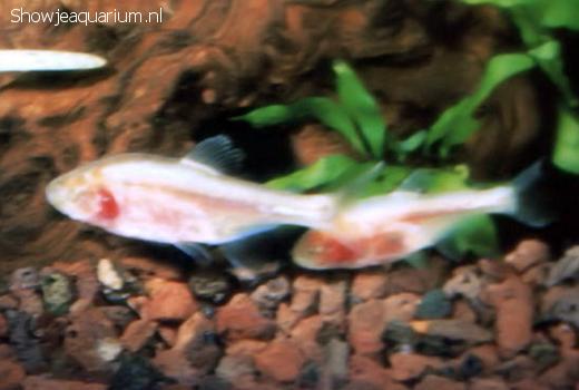 Astyanax fasciatus mexicanus