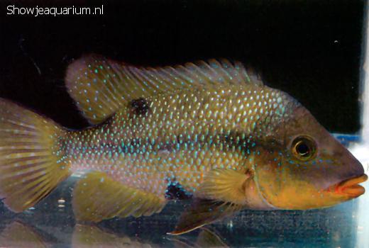 Amphilophus altifrons