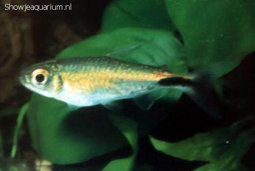 Brycinus longipinnis (Geeloog Kongozalm)