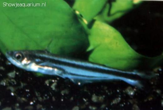 Eutropiellus buffei