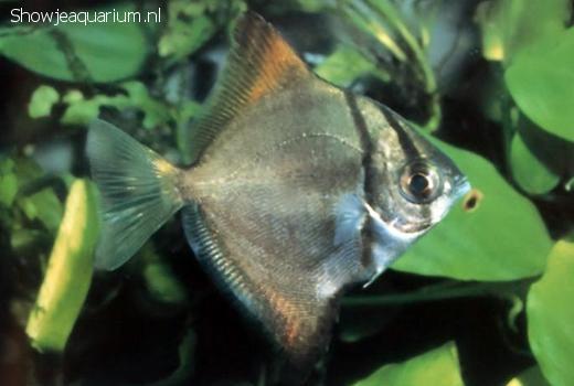 Monodactylus argenteus (Zilverbladvis)