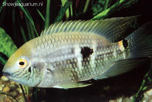 Aequidens pallidus