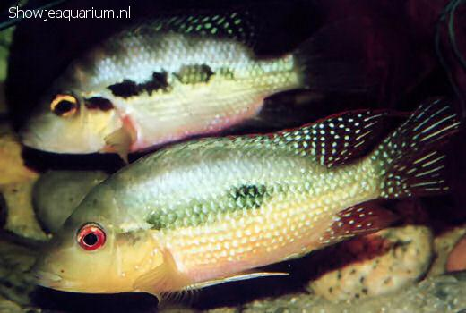 Amphilophus longimanus