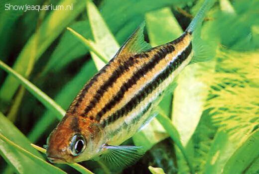 Barbus johorensis