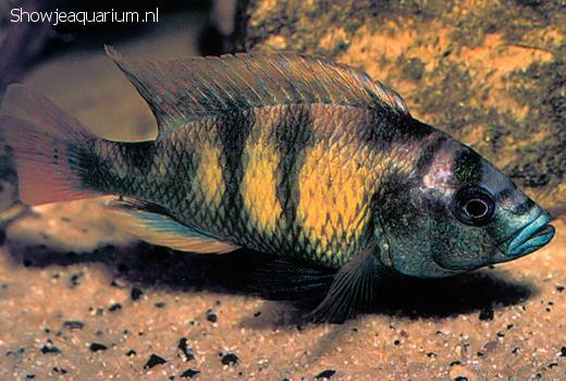 Haplochromis obliquidens
