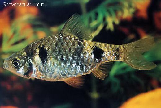 Barbus phutunio