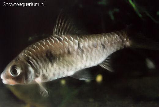 Barbus sahyadriensis