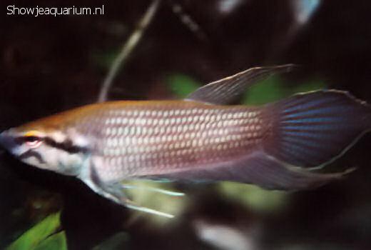 Betta akarensis
