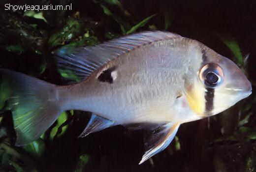 Biotodoma cupido