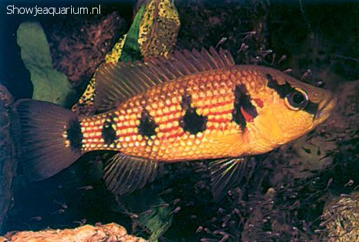 Hemichromis elongatus