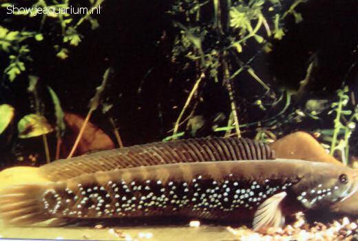 Channa asiatica (Slangenkopvis)