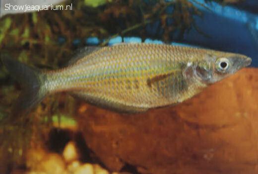 Chilatherina sentaniensis