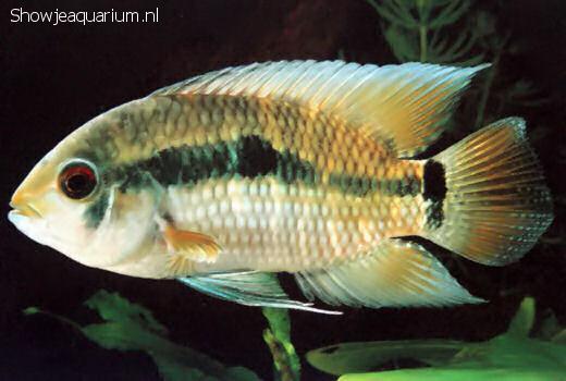 Cichlasoma amazonarum