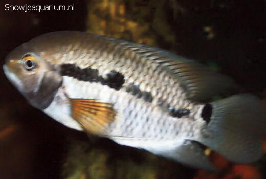 Cichlasoma bimaculatum