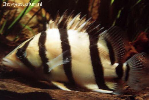Coius microlepis